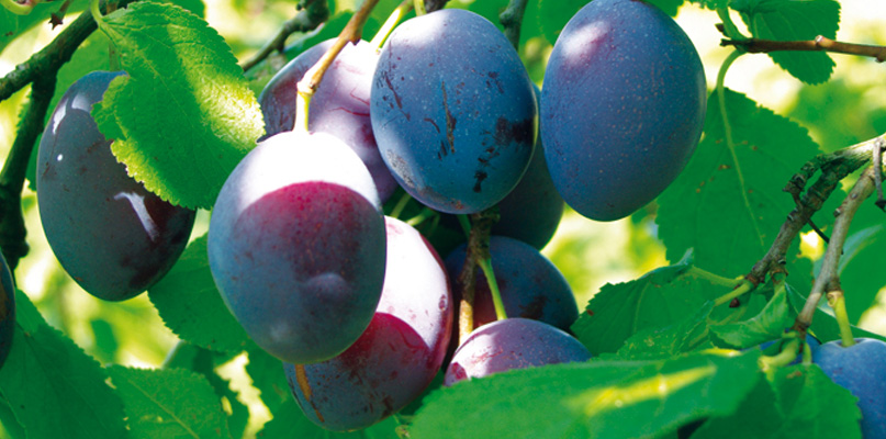 Prunes - Couleur prune fonce ...